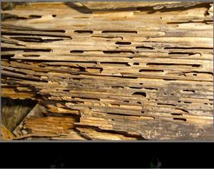Insectes détériorant le bois